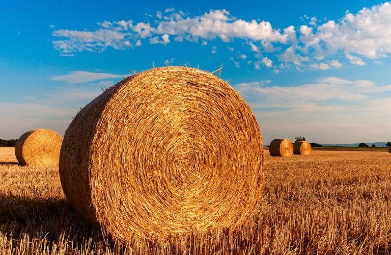 Jak skutecznie chronić posianą przez siebie kukurydzę?